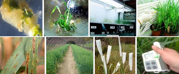 Laboratoire de Génétique et Amélioration des Céréales (LGAC)